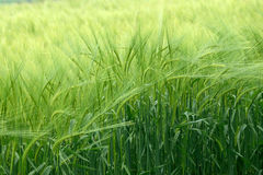 Cereal. Cereal crop ripening in field, slight breeze moving the crop Royalty Free Stock Photo