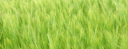 Cereal. Cereal crop ripening in field, slight breeze moving the crop Royalty Free Stock Image