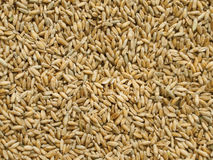 Cereal Crop Triticale Stock Photography