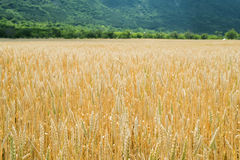 Cereal crops Stock Image
