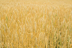 Cereal crops Stock Photography