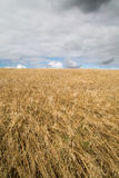 Cereal crops in Cornwall uk Stock Photography
