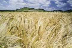 Cereal crops and farm in Tuscany Stock Image