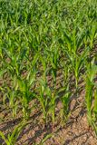 Cereal Crops. A full frame photograph of green crops growing on farmland in Sussex Stock Photos