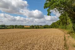 Cereal Crops in Suffolk. Cereal crops in a field, just before harvesting stock photography