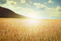 Cereal crops and sunlight Stock Photos