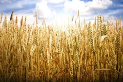 Cereal crops and sunlight Royalty Free Stock Images