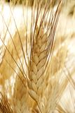 Cereal de oro del trigo, aún vida Foto de archivo