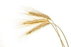 Cereal del trigo en blanco Imagenes de archivo