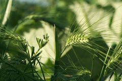 Cereal e hierba verdes Fotos de archivo