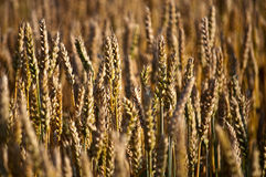 Cereal field Royalty Free Stock Photography