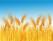 Cereal field. Summer field with gold wheat Royalty Free Stock Photography