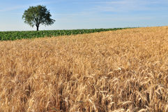 Cereal field. Ripe cereal field with tree and sky behind Stock Photos