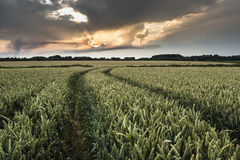 Cereal field Royalty Free Stock Image