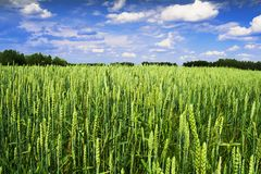 Cereal field royalty free stock images