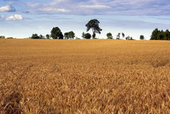 Cereal field. royalty free stock photos