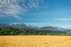 Cereal field in Austria Stock Images
