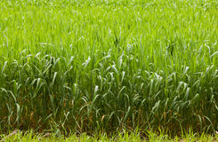 Cereal field border. Close-up of the corn field edge with wet grass after rain Royalty Free Stock Photography