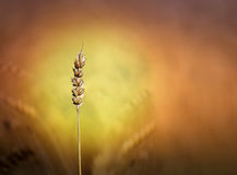 Cereal in field Royalty Free Stock Images