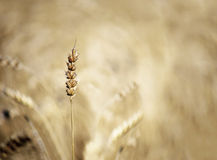 Cereal in field Stock Photography