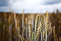 Cereal field in cloudy day Royalty Free Stock Image