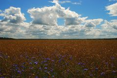 Cereal field with cornflowers. Summer large cereal field with cornflowers with blue sky and white clouds royalty free stock photo