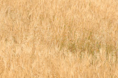 Cereal field and countryside Royalty Free Stock Photography