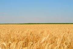 Cereal field. Royalty Free Stock Images