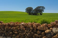 Cereal field, holm oaks and stone wall royalty free stock photo