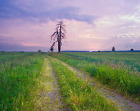 Cereal field landscape with old  tree Royalty Free Stock Photography