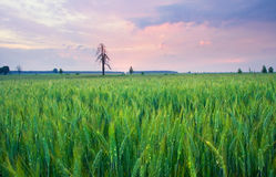 Cereal field landscape with old  tree Stock Photos