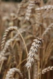 Cereal field macro Stock Images