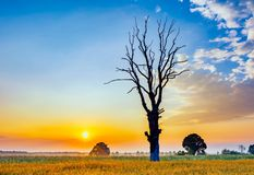 Cereal field with old tree, landscape photographed at morning Stock Photography