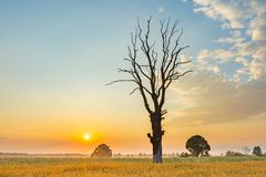 Cereal field with old tree, landscape photographed at morning Stock Photo