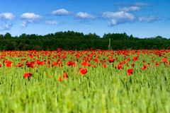 Cereal field with poppies Stock Photos
