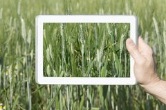 Cereal field seen through a tablet. Tablet screen is left without any text or icon thus giving space for customer graphic Royalty Free Stock Photos