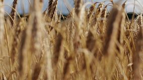 Cereal field with spikelets of ripe rye or wheat stock video footage