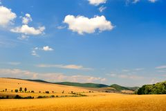 Cereal field in summer Royalty Free Stock Image
