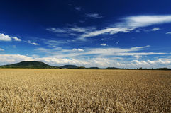 Cereal field in summer time Stock Images