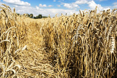 Cereal field in summer time Stock Image