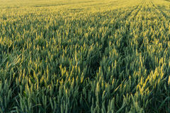 A cereal field Royalty Free Stock Image