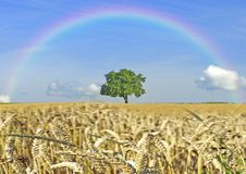 Cereal field with tree and rainbow Royalty Free Stock Photography
