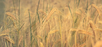 Cereal field, wheat field , agriculture background Royalty Free Stock Images