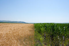 Cereal fields. Ripe wheat and corn ready to be harvested Royalty Free Stock Image