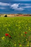 Cereal fields with poppies and other flowers stock photo