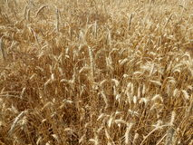 Cereal, grain field Royalty Free Stock Photo