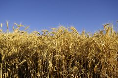 Cereal grain ready for the harvest Royalty Free Stock Image