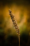 Cereal grains wheat Stock Images