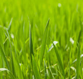 Cereal grass blades Royalty Free Stock Image