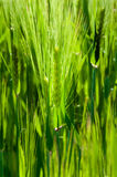 Cereal green grain plants growing spikes on spring Stock Photos